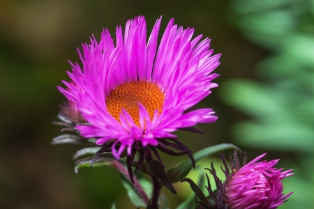 Young aster in garden  photo