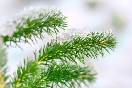 fir twig: Fir twig and little snow