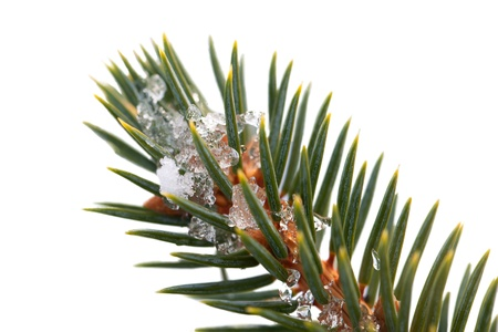 fir twig: Fir twig isolated on white
