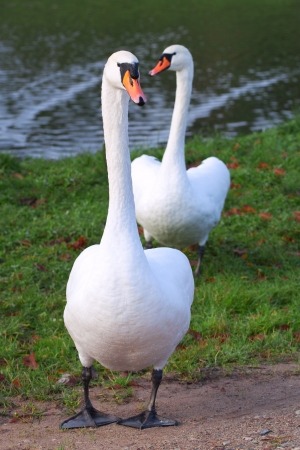 White swans  photo