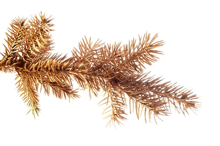Golden fir twig isolated on white  photo
