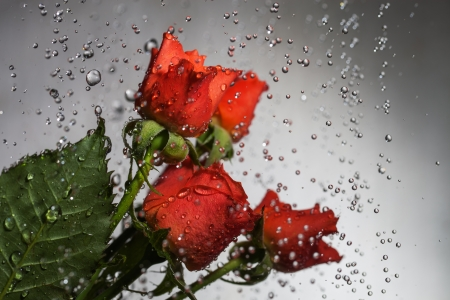 Roses and flying water drops