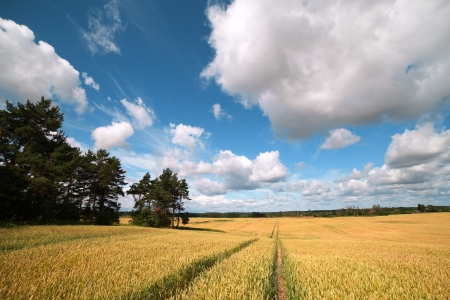 Ripe wheat in summer sunshine  photo
