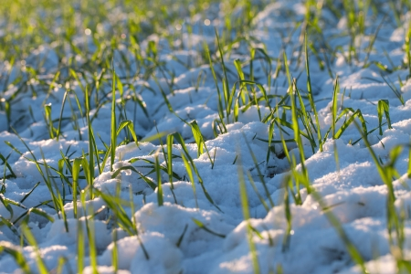 Wheat in snow  photo