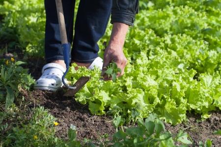 Weeding lettuce in vegetable garden