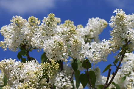 Lilac flowers  photo