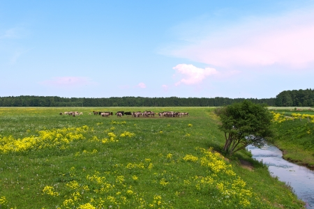 Wild horses in Kemeri National park, Latvia, Europe  photo