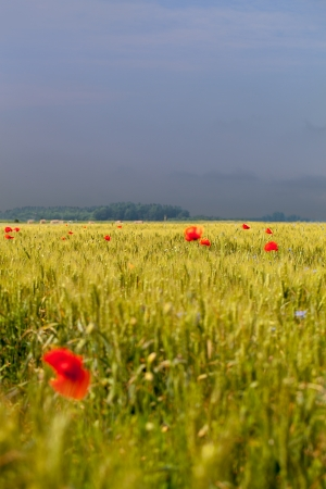 Red poppies in grain field  photo