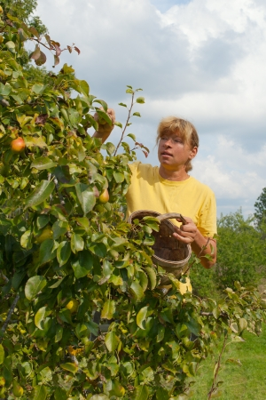 Woman picking pears in the garden. photo