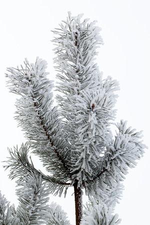Pine branch covered with hoarfrost.