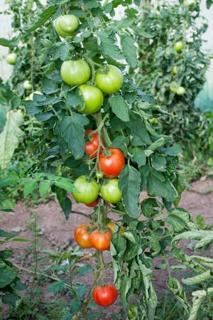 amateur: Tomatoes in amateur greenhouse.