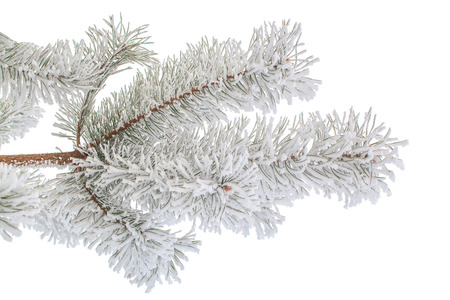 Pine branch covered with hoarfrost isolated on white. photo