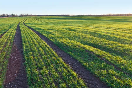 Green sprouts of wheat in autumn sun. Stock Photo - 24441548