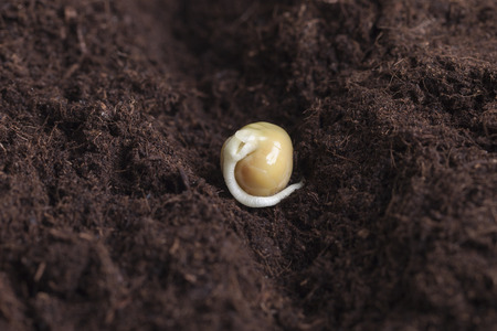 germinating: Germinating pea seeds. Stock Photo