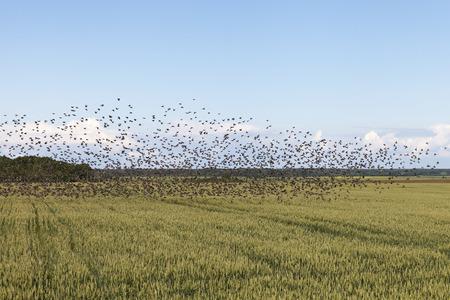breen: Flock of birds and breen field.