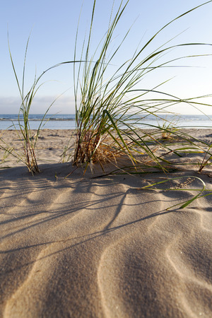 Green grass in dry baltic beach sand. Stock Photo