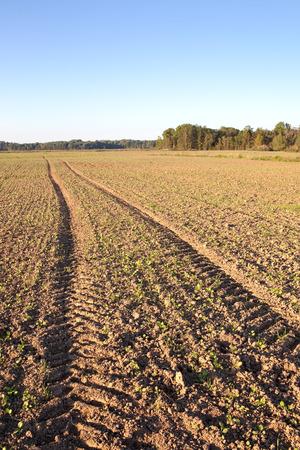 germinaci�n: La germinaci�n en el campo de canola fresco.