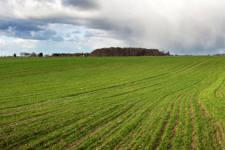 Young wheat plants growing in field. photo