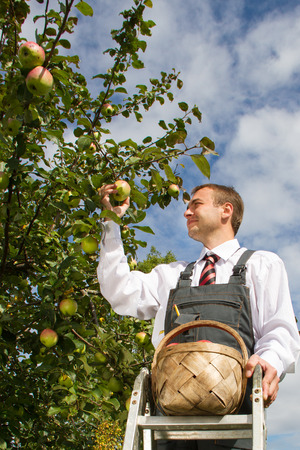 Man harvesting apples in the garden. photo