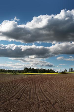 germinaci�n: La germinaci�n de ma�z en campo libre. Foto de archivo
