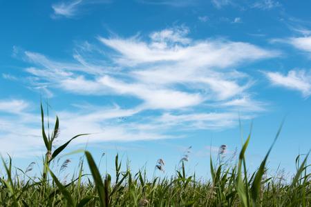canne: Cielo blu e verdi canne.