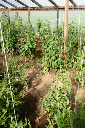 hobby: Green growing tomatoes in hobby greenhose. Stock Photo