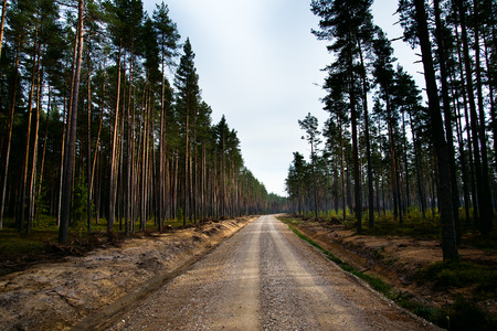 New road in pines forest.