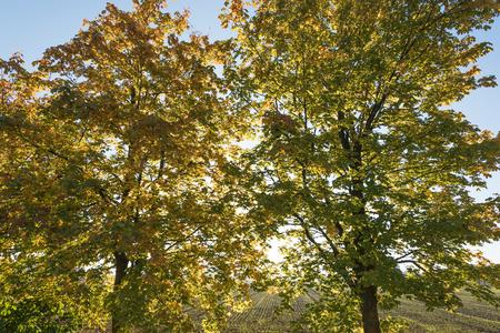 birches: Yellow birches in autumn sunlight. Stock Photo