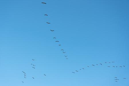migrate: Flock of geese in blue sky.