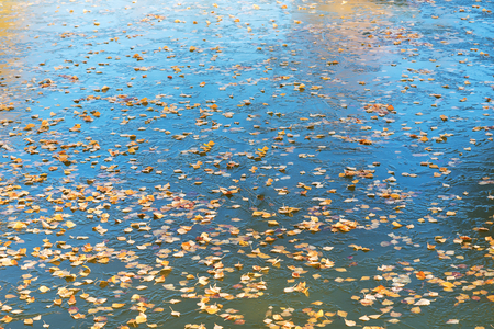 the frozen water: Yellow birche leaves on frozen water surface.