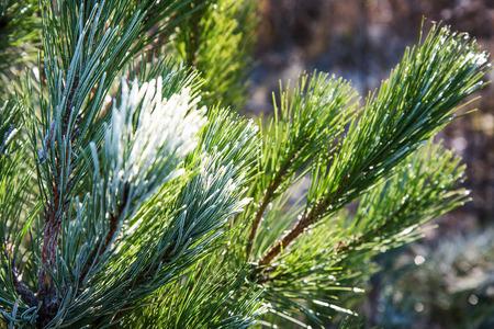 twigs: Pine twigs in frosty morning.