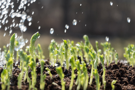 germinaci�n: La germinaci�n de nuevas plantas en primavera. Foto de archivo