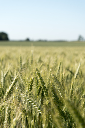 monoculture: Late summer in wheat field. Stock Photo