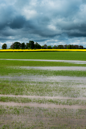 Wheat field after heavy rain in springtime.