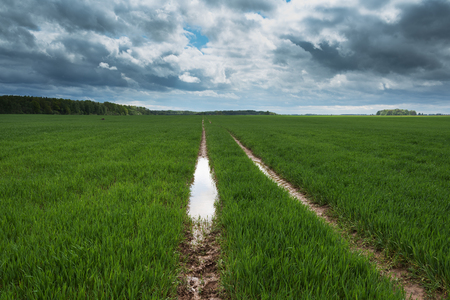 pivotal: Wheat field after heavy rain in springtime.