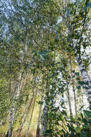 arboleda: Sun light in birch grove.