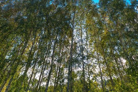arboleda: bosque de abedules verde.
