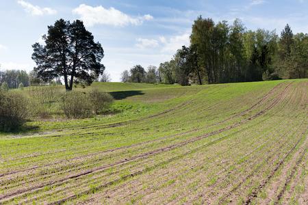 germinación: La germinación de trigo.