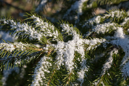 Little snow on fir twigs.