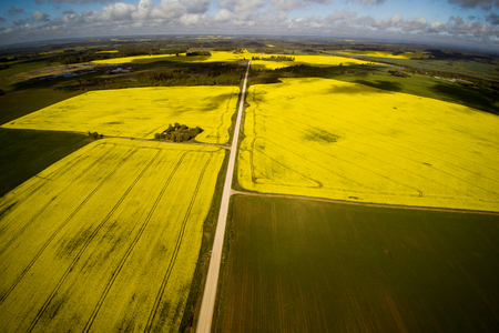 Yelow canola fields in spring.