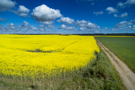 Yelow canola fields in spring.