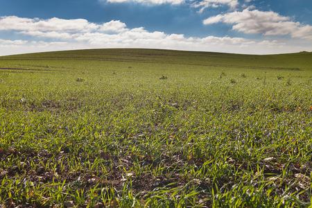 germinación: La germinación de trigo nuevo.