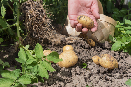 Harvesting new potatoes in hobby garden. Stock Photo