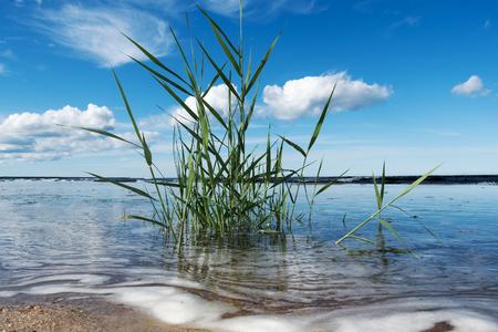 Reed at Baltic sea coast.