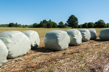 Silage rolls on mown field.