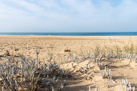 Wild grass in sand by Atlantic ocean , Nazare, Portugal.