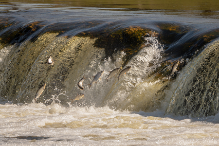 Jumping of fish on waterfall Ventas rumba at Kuldiga city, Latvia.