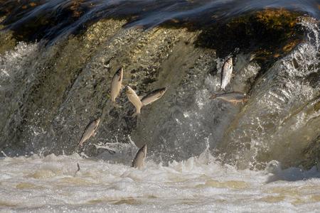 Jumping of fish on waterfall Ventas rumba at Kuldiga city, Latvia.