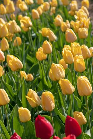 Yellow tulips in flower bed. Imagens