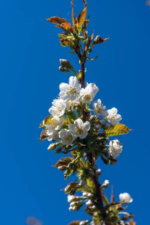 Flowering plum twig against blue sky.